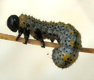 Les chenilles deviendront des papillons for Larve de noctuelle