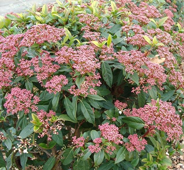 Arbustes feuillage persistant qui fleurissent en hiver - Fleurs qui fleurissent en hiver ...